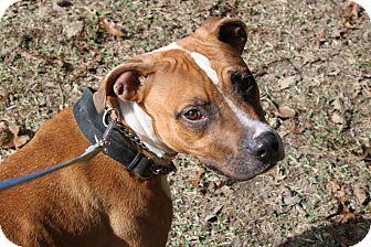 Boxer Mix Dog for adoption in Waldorf, Maryland - David