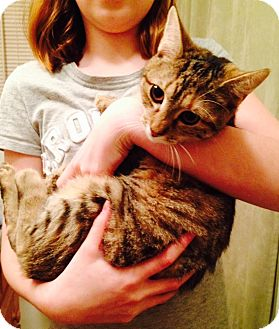 Domestic Shorthair Kitten for adoption in Pittstown, New Jersey - Megan