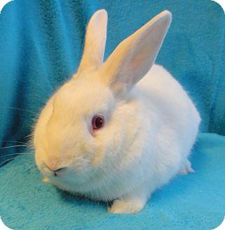 Florida White Mix for adoption in Los Angeles, California - Rosebun