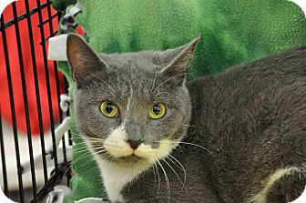 Russian Blue Cat for adoption in Germantown, Tennessee - Joy