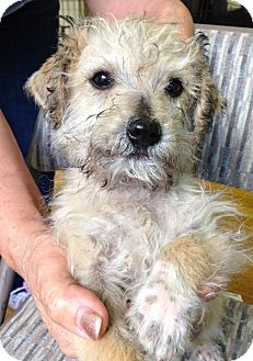 Terrier (Unknown Type, Small) Mix Puppy for adoption in San Francisco, California - Jerry