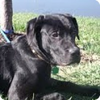 Adopt A Pet :: Pong - Lewisville, IN