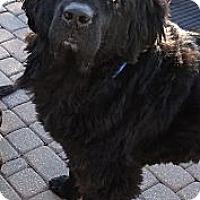 Adopt A Pet :: Tonka - batlett, IL