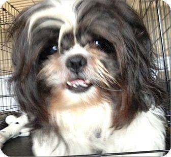 Shih Tzu Mix Dog for adoption in Freeport, New York - Fluffy