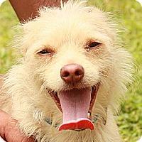 Adopt A Pet :: Skip - 13 lb lap dog! - Ocala, FL