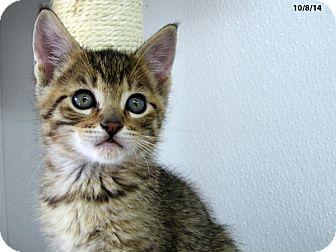 Domestic Shorthair Kitten for adoption in Republic, Washington - Aardvark