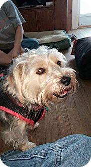 Yorkie, Yorkshire Terrier/Dachshund Mix Dog for adoption in Hazel Park, Michigan - Gracie