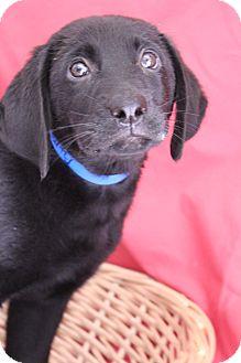 Labrador Retriever Mix Puppy for adoption in Waldorf, Maryland - Marty