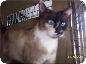 Siamese Cat for adoption in Molalla, Oregon - Diva