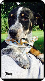 Beagle/Terrier (Unknown Type, Medium) Mix Puppy for adoption in Glastonbury, Connecticut - Sam