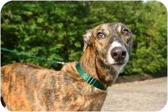 Greyhound Dog for adoption in Hendersonville, Tennessee - Riled and Ready