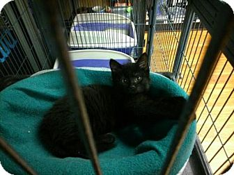 Domestic Mediumhair Kitten for adoption in Hamilton, Ontario - Jessie