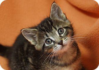 Domestic Shorthair Kitten for adoption in Kensington, Connecticut - Brady
