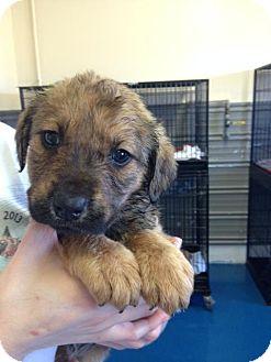Beagle Mix Puppy for adoption in Newburgh, Indiana - Raisin