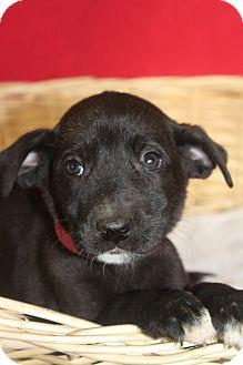 Labrador Retriever Mix Puppy for adoption in Waldorf, Maryland - Sally