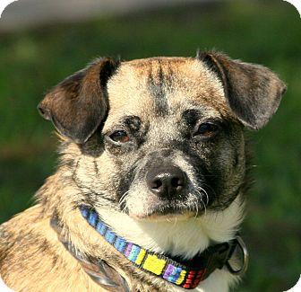Chihuahua Mix Dog for adoption in San Leon, Texas - Lacy