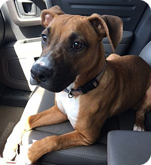 Boxer Mix Dog for adoption in Hayes, Virginia - Roxy