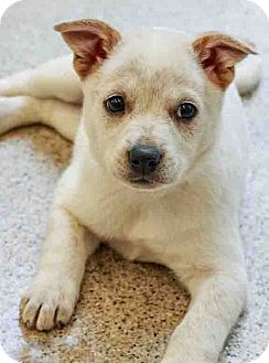Terrier (Unknown Type, Medium) Mix Puppy for adoption in Gahanna, Ohio - ADOPTED!!!   Aladdin