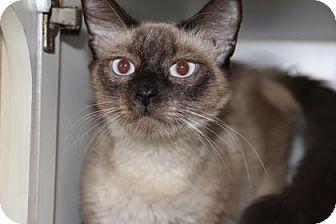 Siamese Cat for adoption in Greensboro, North Carolina - Zentra