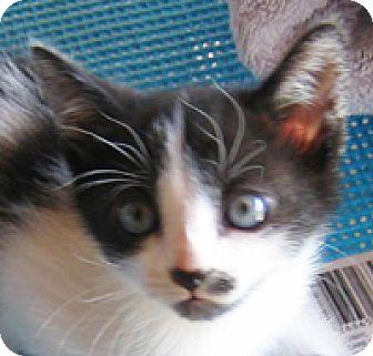 Domestic Shorthair Kitten for adoption in Garland, Texas - Thistle