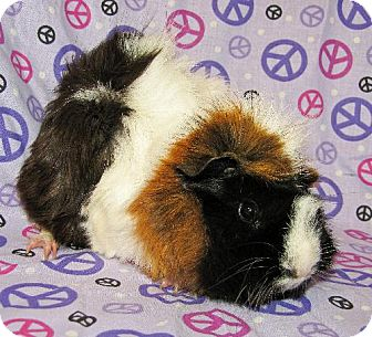 Guinea Pig for adoption in Kingston, Ontario - Bettie and Ceecee