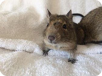 Degu for adoption in Lowell, Massachusetts - Rebel