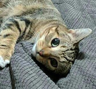 Domestic Shorthair Cat for adoption in Salem, Oregon - Cleopatra