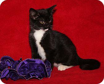 Domestic Shorthair Cat for adoption in Marietta, Ohio - Yoko (Spayed)
