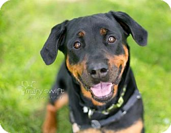 Rottweiler Mix Dog for adoption in Reisterstown, Maryland - Quinn
