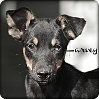 Adopt A Pet :: Harvey - Glastonbury, CT