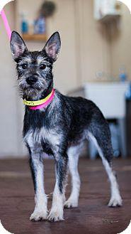 Schnauzer (Standard) Mix Dog for adoption in Mesa, Arizona - THEO