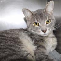 Adopt A Pet :: Simon Grey - Anderson, IN