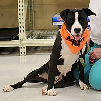 Adopt A Pet :: Nova - McCormick, SC