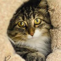 Domestic Mediumhair/Domestic Shorthair Mix Cat for adoption in Crossfield, Alberta - Charlene