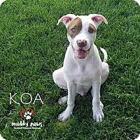 Adopt A Pet :: Koa - Council Bluffs, IA
