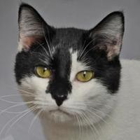 Domestic Shorthair/Domestic Shorthair Mix Cat for adoption in Tilton, Illinois - Holden