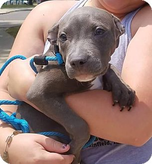Pit Bull Terrier Mix Puppy for adoption in Plainfield, Illinois - Dolie