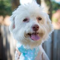Poodle (Miniature)/Chinese Crested Mix Dog for adoption in Von Ormy, Texas - Bo