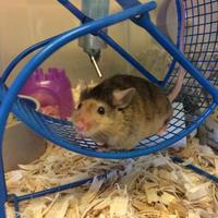 Mouse/Mouse Mix for adoption in Milwaukee, Wisconsin - Red