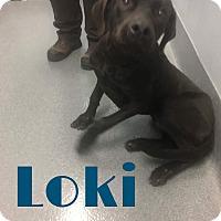 Adopt A Pet :: Loki - Grand Rapids, MI