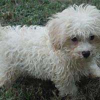 Adopt A Pet :: Pip and poodle mix boys - Venice, FL