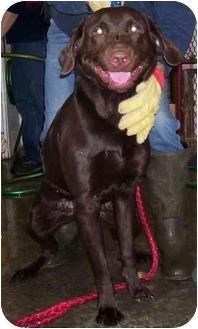 Labrador Retriever Mix Dog for adoption in Somerset, Pennsylvania - Hank