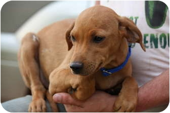 Vizsla/Dachshund Mix Puppy for adoption in Prince William County, Virginia - marty