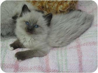 Ragdoll Kitten for adoption in Davis, California - Remmington