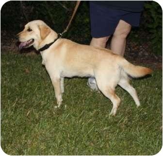 Labrador Retriever Mix Dog for adoption in Largo, Florida - HARLEY