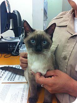 Siamese Kitten for adoption in Burbank, California - Sexy GORGEOUS SIAMESE KITTEN!!
