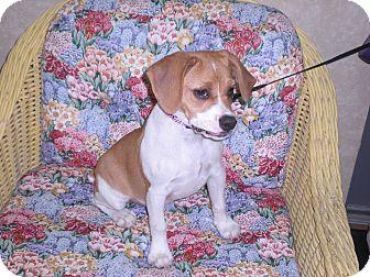 "English Bulldog/Beagle Mix Puppy for adoption in New Castle, Pennsylvania - "" Rylee """