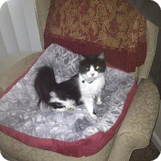 """Domestic Mediumhair Kitten for adoption in Oxford, Connecticut - """"OREO"""" Baby Girl"""