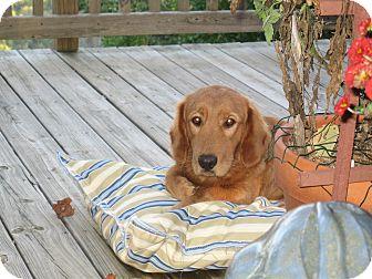 Golden Retriever/Basset Hound Mix Dog for adoption in North Wilkesboro, North Carolina - Buddy