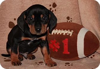 Coonhound Mix Puppy for adoption in Salem, New Hampshire - Uncle Junior